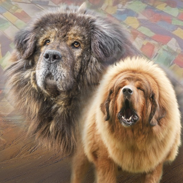 Tibetan Mastiff Breeding - Our Blog