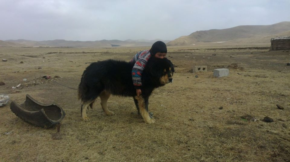 Introduction to the Tibetan Mastiff