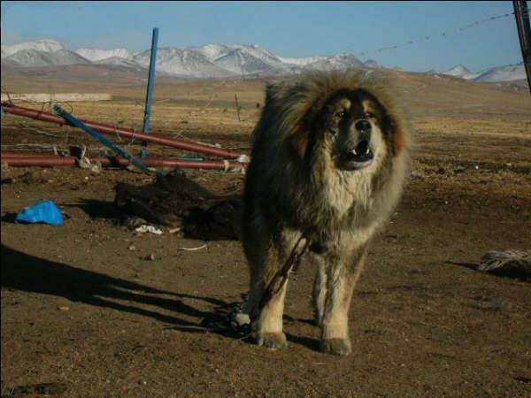 Tibetan mastiff colors
