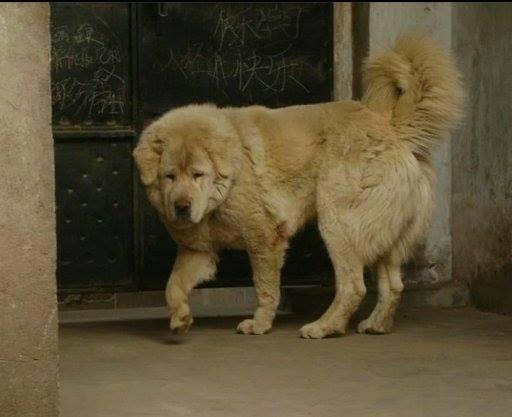 Tibetan mastiff colors