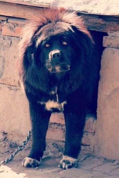 Azi, Tibetan Mastiff female in Tibet