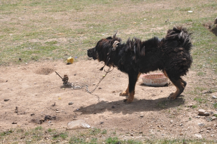 Tibetan Mastiff from Yushu, (Southern Qinghai) - picture from the web