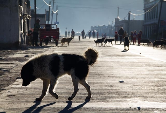 pariah dog in Tibet - picture from the web