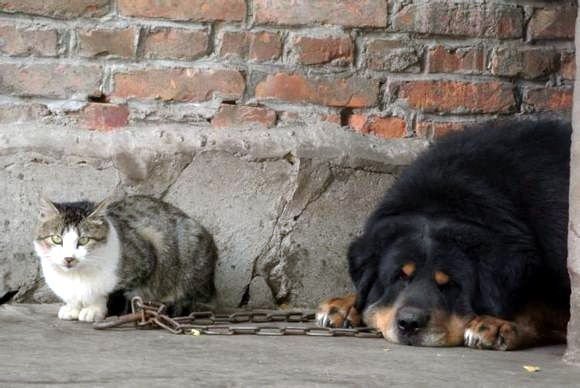 Can Tibetan mastiff live together with other dogs or animals?
