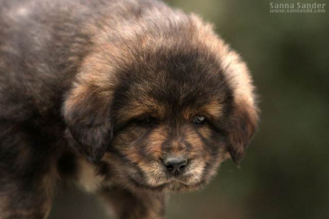 How much does a Tibetan mastiff puppy cost?