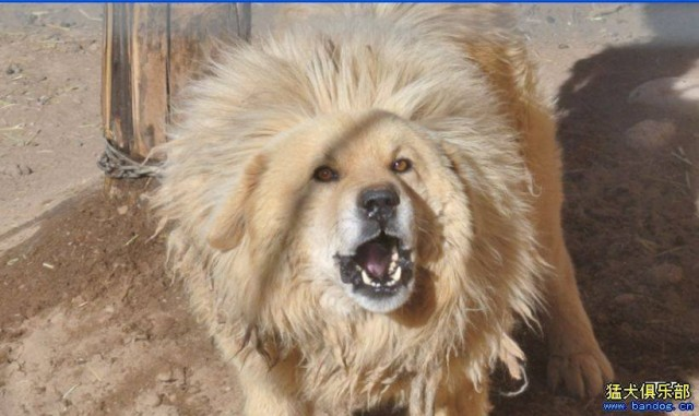 Is the Tibetan mastiff a suitable dog for everybody?