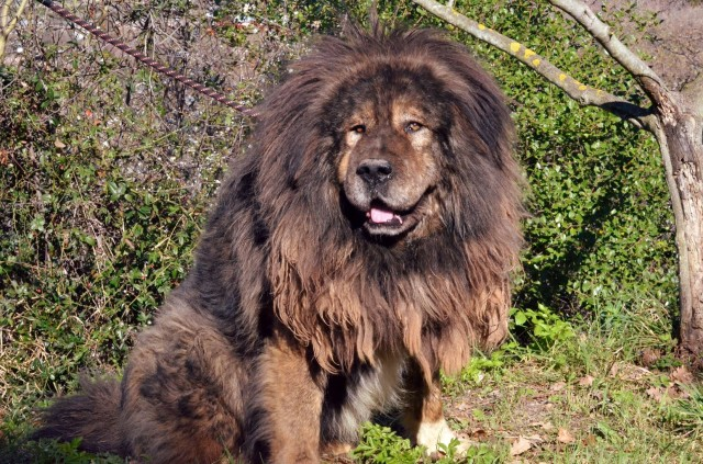 Tibetan mastiff coat: which kind of care does it need?