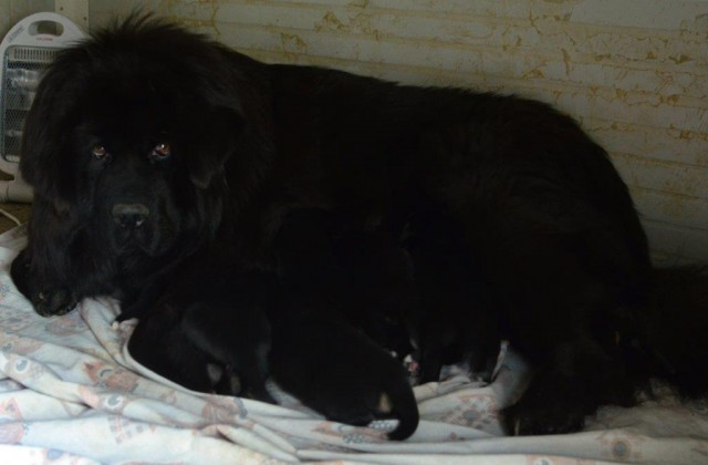 Heimudan's puppies are born