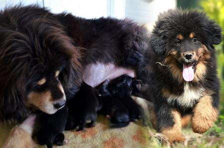 Tibetan mastiff puppies for sales: we are proud to announce our breeding plan 2019-2020!
